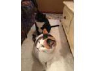 Adopt Minnie and sister Stella a Calico or Dilute Calico Domestic Shorthair /
