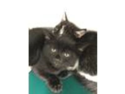 Adopt Gabumon a All Black Domestic Shorthair (short coat) cat in Concord