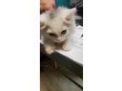 Adopt J-Wow a White Domestic Longhair / Domestic Shorthair / Mixed cat in Myrtle