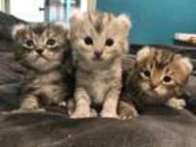 Highlander Kittens