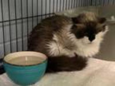 Adopt SNOW CAT a Cream or Ivory (Mostly) Snowshoe / Mixed (short coat) cat in