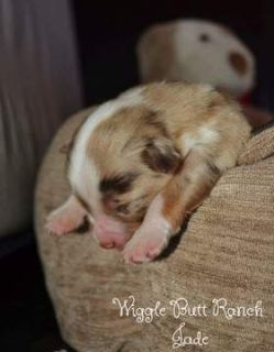 Miniature Australian Shepherd PUPPY FOR SALE ADN-89800 - Jade