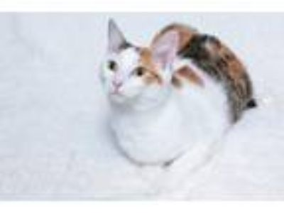 Adopt Audrey a Calico or Dilute Calico Domestic Shorthair (short coat) cat in