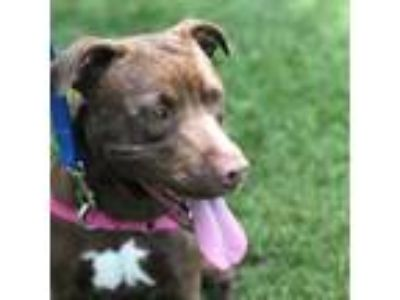 Adopt Princess a Labrador Retriever, Pit Bull Terrier