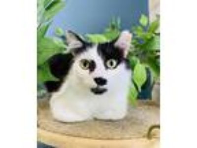 Adopt Hendrix: @DESTINATION CATS a Domestic Mediumhair / Mixed (medium coat) cat