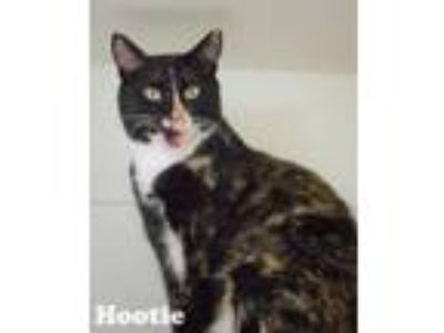 Adopt Hootie - Semi Adoptable a Domestic Short Hair, Snowshoe