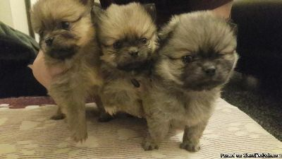 Pom puppies for you