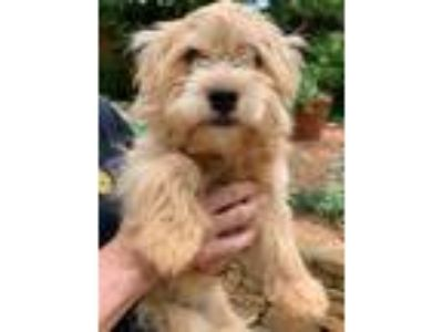 Adopt Holly a Shih Tzu, Norfolk Terrier