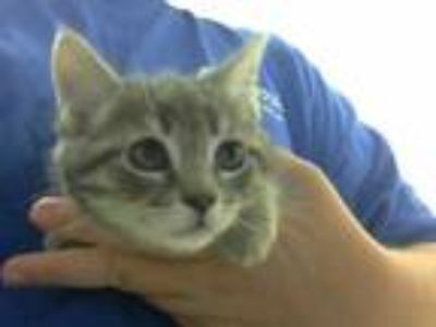 Adopt ALADDIN a Gray, Blue or Silver Tabby Domestic Shorthair / Mixed (short