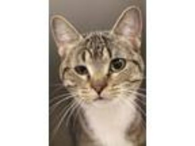 Adopt Destiny a Brown Tabby Domestic Shorthair / Mixed cat in Independence
