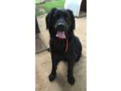 Adopt Jasper a Black Labrador Retriever / Mixed dog in Greenville, SC (23365710)