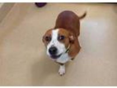 Adopt HULK a Brown/Chocolate Beagle / Basset Hound / Mixed dog in Chapel Hill