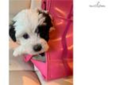 Toby Maltipoo.. [url removed]