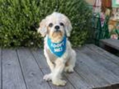 Adopt Sashi a Shih Tzu / Mixed dog in Pacific Grove, CA (24726254)