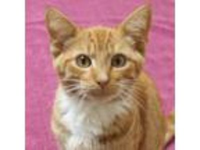 Adopt Albus a Domestic Short Hair