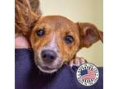 Adopt Willow a Hound (Unknown Type) / Mixed dog in St. Petersburg, FL (25843385)