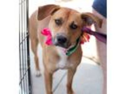 Adopt Elsie a Brown/Chocolate - with Tan Hound (Unknown Type) / Shepherd
