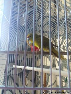 Kakariki Bird Free To Good Home