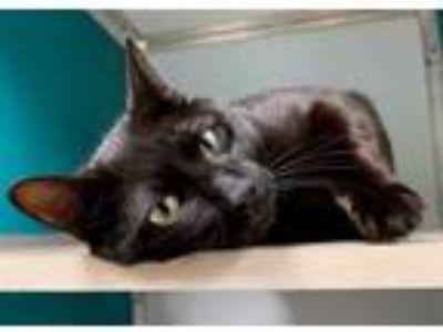 Adopt Comet a All Black Domestic Shorthair / Domestic Shorthair / Mixed cat in