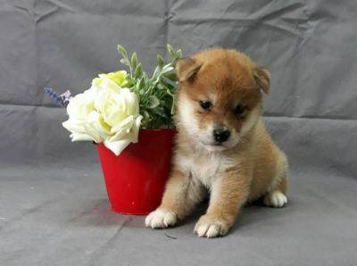Shiba Inu PUPPY FOR SALE ADN-97229 - HOMEBRED Super Red Shiba Inu puppy LA SF SEA NY