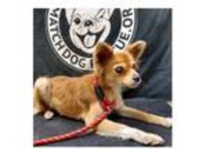 Adopt Dolly a Pomeranian