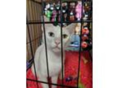 Adopt Chiffon a White Domestic Shorthair (short coat) cat in Flower Mound