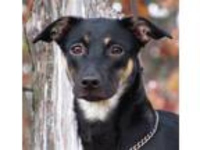 Adopt Lexi a Rat Terrier / Mixed dog in Osage Beach, MO (23784685)
