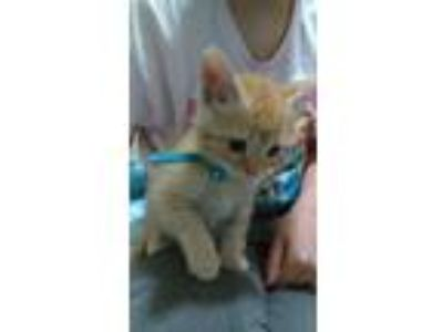Adopt Elvis a Orange or Red Domestic Shorthair cat in Circleville, OH (25911366)