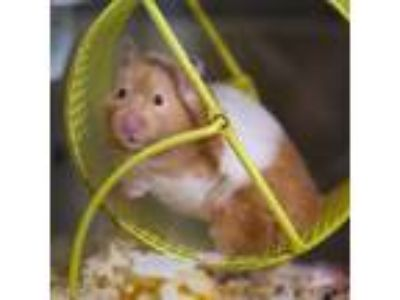 Adopt HONOLULU a Tan or Beige Hamster / Mixed small animal in Las Vegas