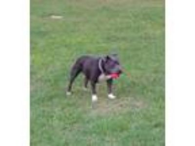 Adopt Polly a Pit Bull Terrier