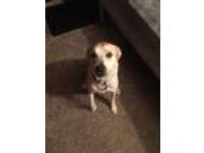 Adopt Lilly a Tan/Yellow/Fawn - with White German Shepherd Dog / Labrador