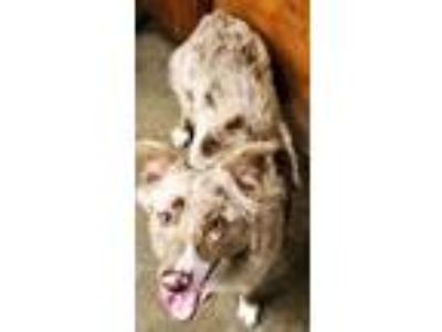 Adopt ADOPTION PENDING Marble a Merle Australian Shepherd / Mixed dog in Oswego