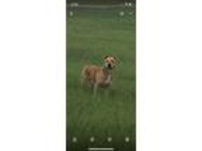 Adopt Simba a Tan/Yellow/Fawn Shepherd (Unknown Type) dog in Ocoee