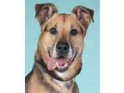 Adopt Wilson a German Shepherd Dog