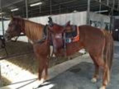 Allusive Legacy Trail Horse Playday Proven Broodmare