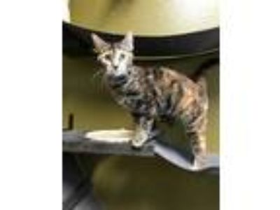 Adopt Cocoa a Brown or Chocolate Domestic Shorthair / Domestic Shorthair / Mixed