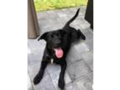 Adopt Kristy a Black Labrador Retriever, Hound