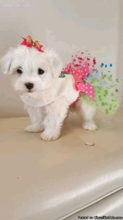 Toy Malshi puppies