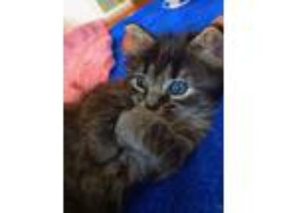 Adopt Kate a Domestic Medium Hair