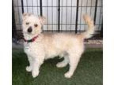 Adopt Tuey a Poodle