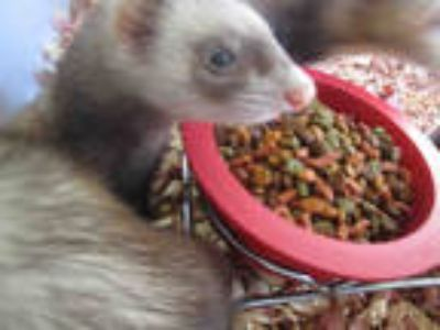 Adopt RISHA a Brown or Chocolate Ferret / Mixed small animal in Winter Haven