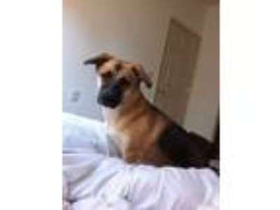 Adopt Ruby (f.k.a. Squirt) a Brown/Chocolate - with Black German Shepherd Dog /