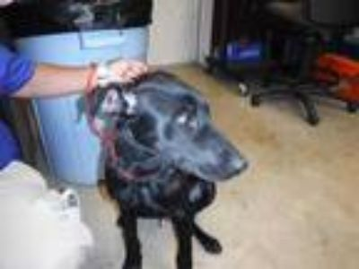 Adopt TAINO a Black Labrador Retriever / Mixed dog in Sanford, FL (25557989)