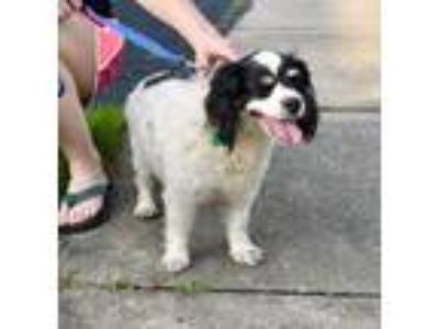 Adopt Lilly a Cavalier King Charles Spaniel