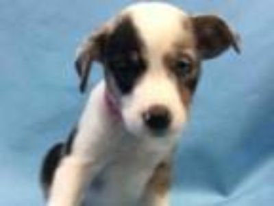 Adopt Sundae a Gray/Blue/Silver/Salt & Pepper Hound (Unknown Type) / Mixed dog