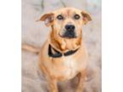 Adopt Waffles a Brown/Chocolate Hound (Unknown Type) / Mixed dog in Elkton