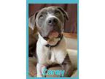 Adopt Corey a Gray/Silver/Salt & Pepper - with White American Staffordshire