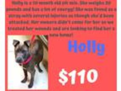 Adopt Holly a Gray/Blue/Silver/Salt & Pepper Pit Bull Terrier / Mixed dog in