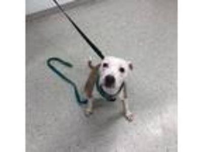 Adopt Bridgette a White American Pit Bull Terrier / Mixed dog in Indianapolis