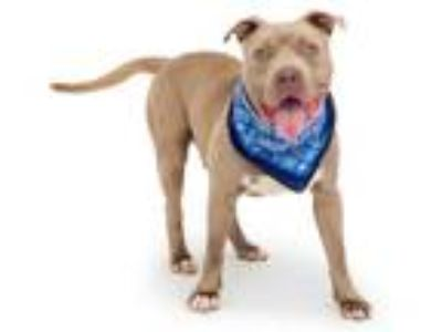 Adopt *AXEL a Brown/Chocolate - with White American Pit Bull Terrier / Mixed dog